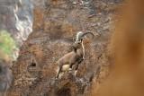 Male Nubian ibex Capra nubiana expert climbers