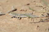 Redtailed Spinyfooted Lizard