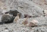 Sand Partridge Ammoperdix heyi male and female