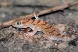Turkish gecko Hemidactylus turcicus