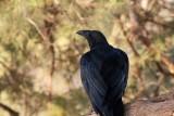 Corvus riphidurus