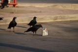 Corvus riphidurus - Do you want some chips?