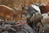 Courtship Nubian ibex Capra nubiana