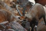Courtship nasty female Nubian ibex Capra nubiana