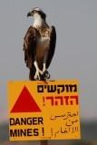 Osprey - Pandion haliaetus - Aguila pescadora
