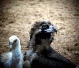 Black Vulture - Aegypius monachus - Buitre Negro - Voltor Negre - Munkegrib