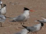 Lesser Crested Tern Hybrid Gallery (Sterna bengalensis x St. sandvicensis)