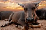 Buffalo relaxing at sunset