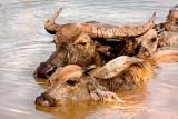 Buffalo in the Mekong