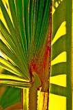 Sugar palm leaf shadows