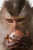 Monkey Hoiy eating egg