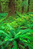 (PNW10) Sword Fern, Hoh Rainforest, WA