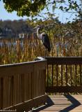 Great Blue Heron 0006