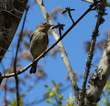 Myrtle Warbler (formerly yellow rumped Warbler) 0061