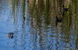 Common Moorhens & alligator 0098