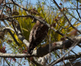 Red Tailed Hawk  0167