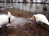 Trumpeter Swans at Castanea revisited
