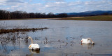 One more vist: Trumpeter Swans in Clinton County, PA