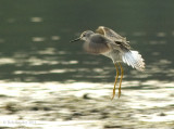 2011 images of  shorebirds and waders seen at Colyer Lake, PA