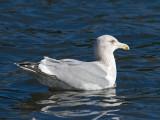 Herring x Glaucous-winged Gull