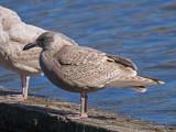 Puzzling Gulls
