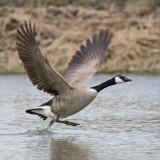 Giant Canada Goose
