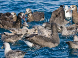 fulmars and albatrosses