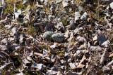 Killdeer nest and eggs