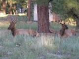 Two elk