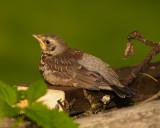 Kramsvogel ( juveniel)