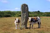 Quelhuit cattle