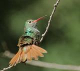 Buff-bellied Hummingbird, male