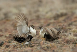 Greater Sage Grouse, males facing off on lek