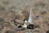 Greater Sage Grouse, males fighting on lek