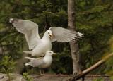 Mew Gulls, mating