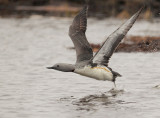 Red-throated Loon, breeding plumage, taking off