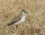 Semipalmated Sandpiper, breeding plumage, carrying nesting material