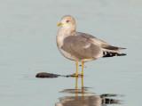 Mew Gull, adult winter