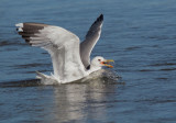 California Gull, breeding plumage, with prey