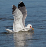 California Gull, breeding plumage