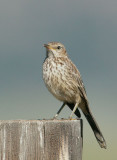Mockingbirds, Thrashers, etc