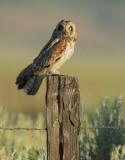 Short-eared Owl, male