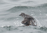 Cassin's Auklets