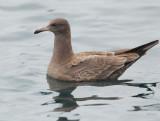 Heermann's Gull, juvenile