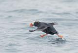 Birds -- Farallon pelagic, July 31, 2011