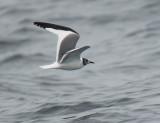 Birds -- Monterey Bay pelagic, August 28, 2011