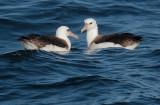 Birds -- Monterey pelagic, October 29, 2011