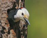 White-headed Woodpecker, male at nest