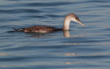 Red-throated Loon, first cycle