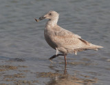 Glaucous-winged Gull with shellfish, first cycle
